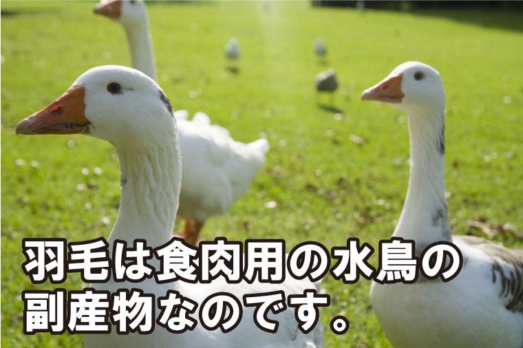 羽毛は食肉用の水鳥の副産物なのです。